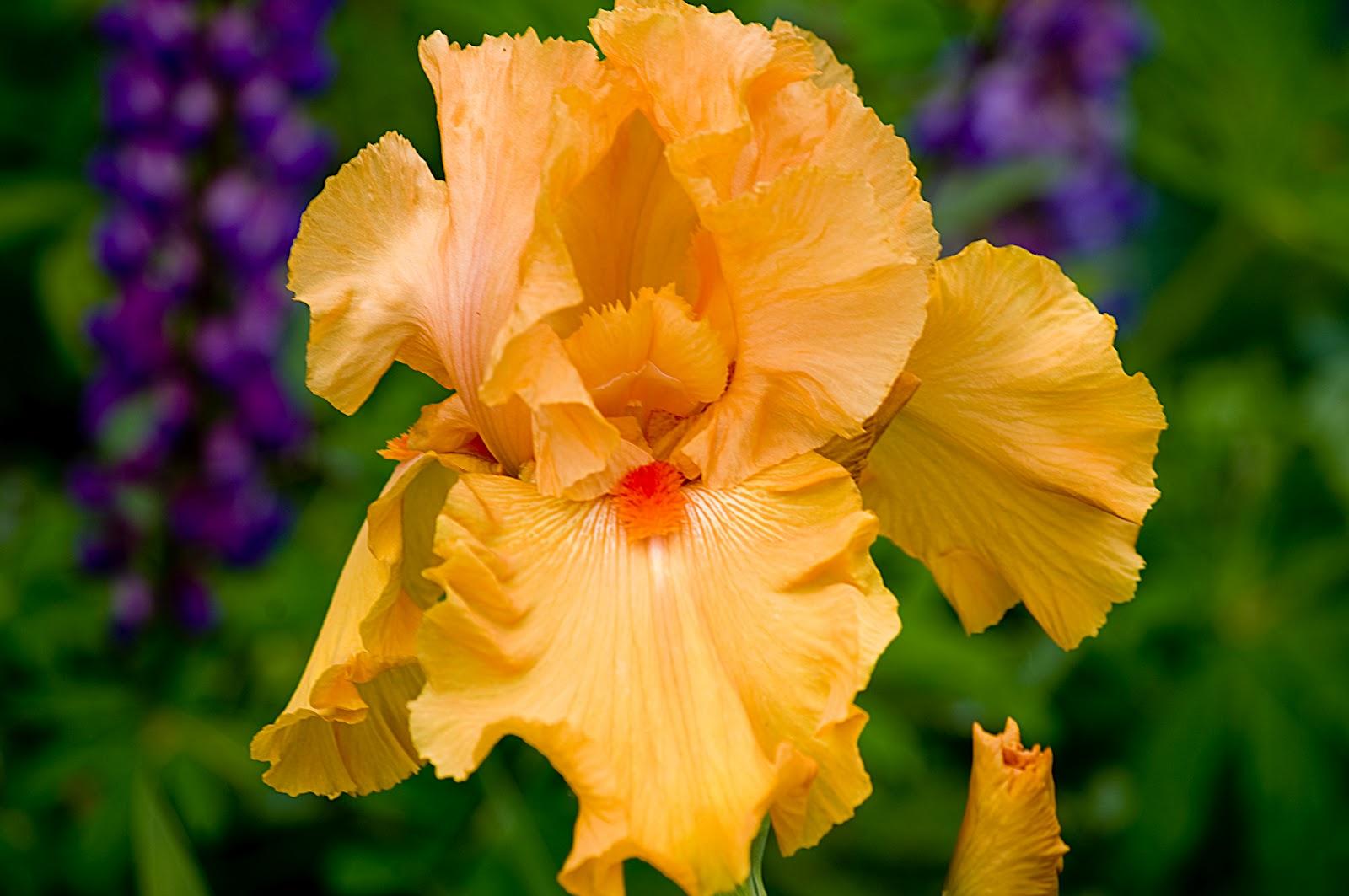 My Oregon Photography Schreiner 39 S Iris Gardens Three