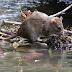Pencegahan dan Rawatan Penyakit Kencing Tikus