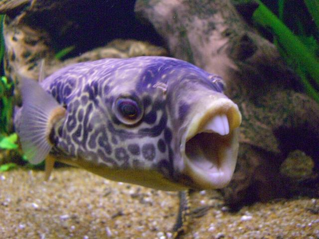 Funny giant puffer fish funny animal for Freshwater puffer fish care