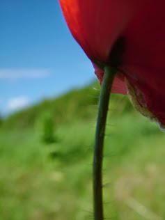 Poľný kvet.