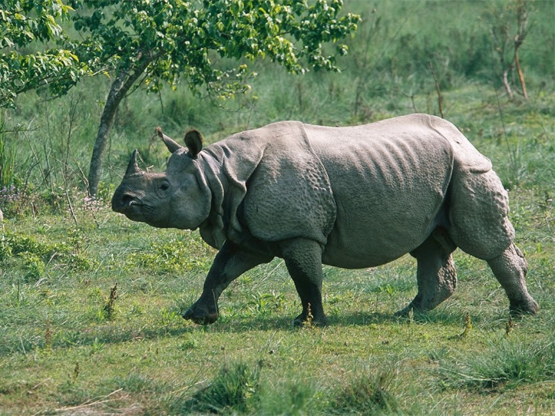 Indian Rhinoceros can be easily spotted in Manas Wildlife Sanctuary