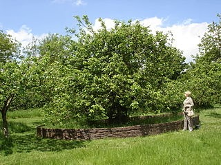 Macieira em que Newton ficava sentado