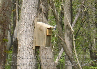 Image of a nuthatch head first off the top of a birdhouse.