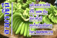 ปลูกกกล้วยคาเวนดิช