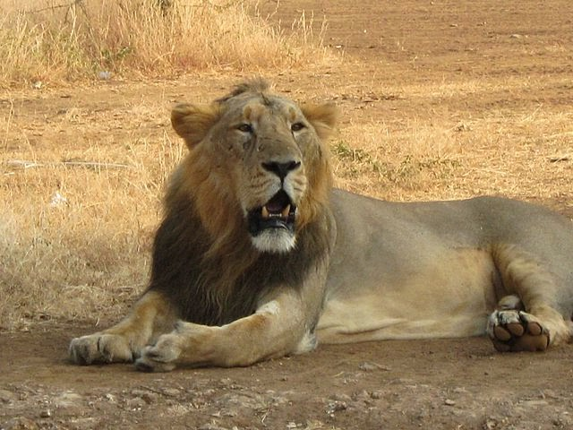 Asiatic-Lion-Gir_National_Park