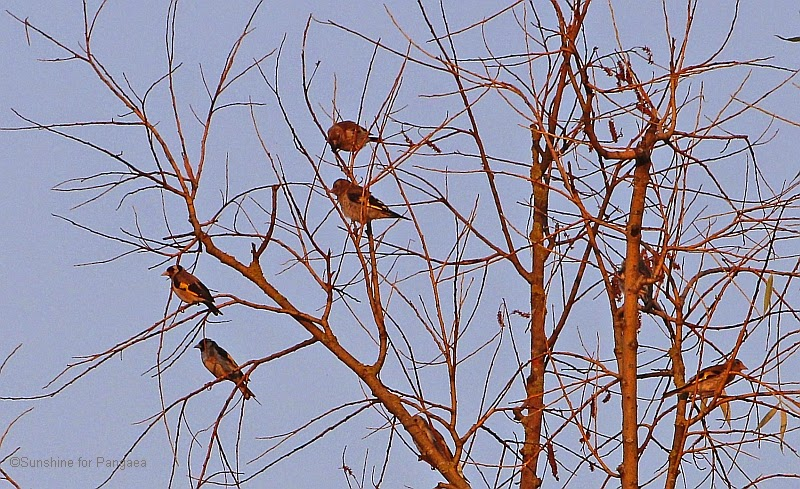 Flock of goldfinches in a tree at sunset