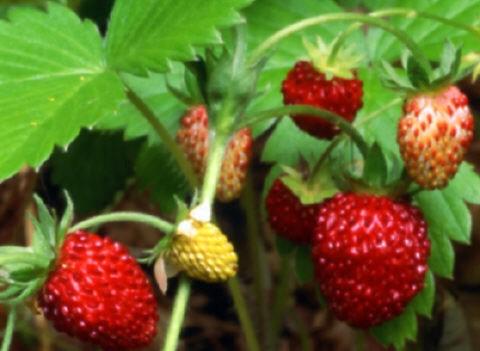 Productor de plantlas de fresa