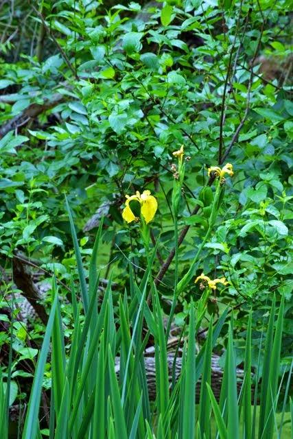 Iris pseudacorus 6047