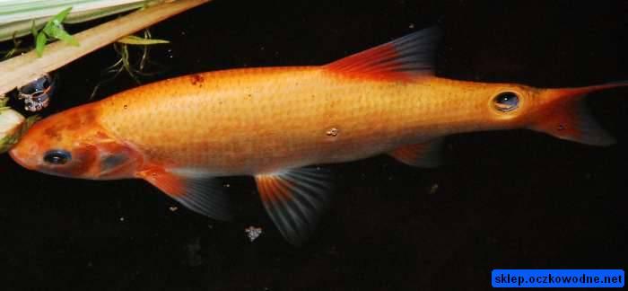 Paperfish fish biology in progress mutazione in rosso for Carpa pesce rosso