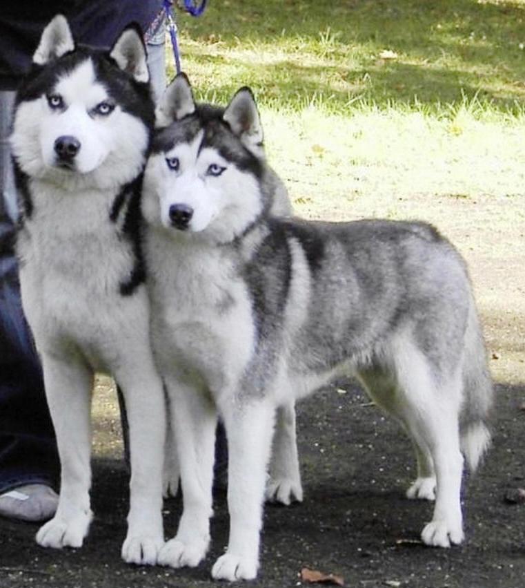 Cute siberian husky puppies photos cute puppies pictures puppy photos - Pictures of siberian huskies ...