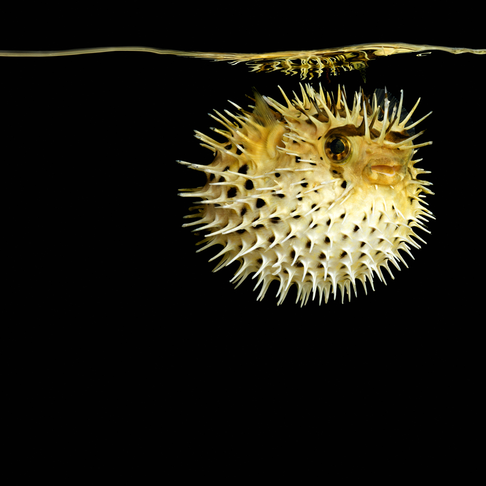 What 39 s up trouvaillesdujour mark laita sea serpentine for Pictures of puffer fish