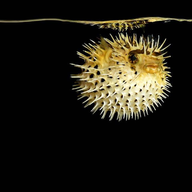 What 39 s up trouvaillesdujour mark laita sea serpentine for Puffer fish puffing
