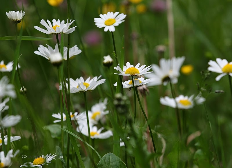 meadow with oxeye daisy