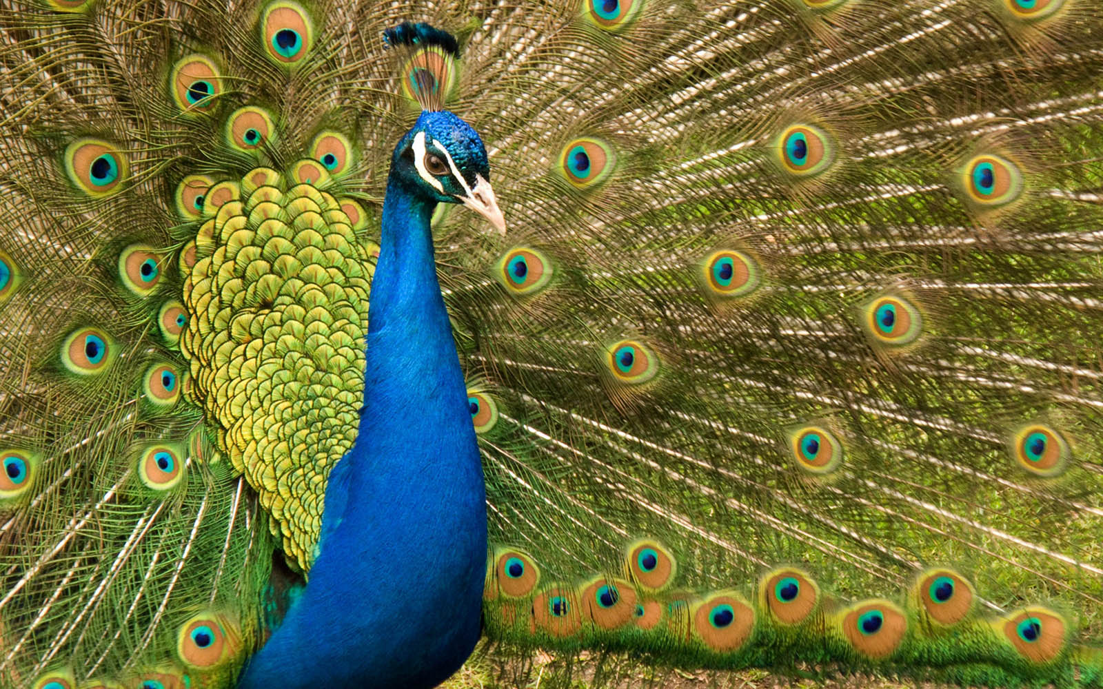 Peacock wallpapers - photo#2