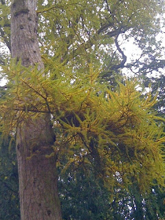 Larch+Tree-Larix+decidua