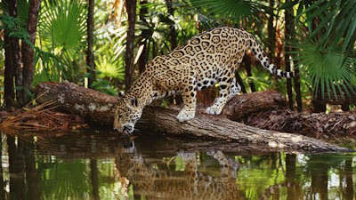 ... Rapid Expansion Of Forest Clearing To Provide Pastures For Beef Cattle  And To Build New Settlements Has Finished What The Hunters Began. Jaguars  Are ...