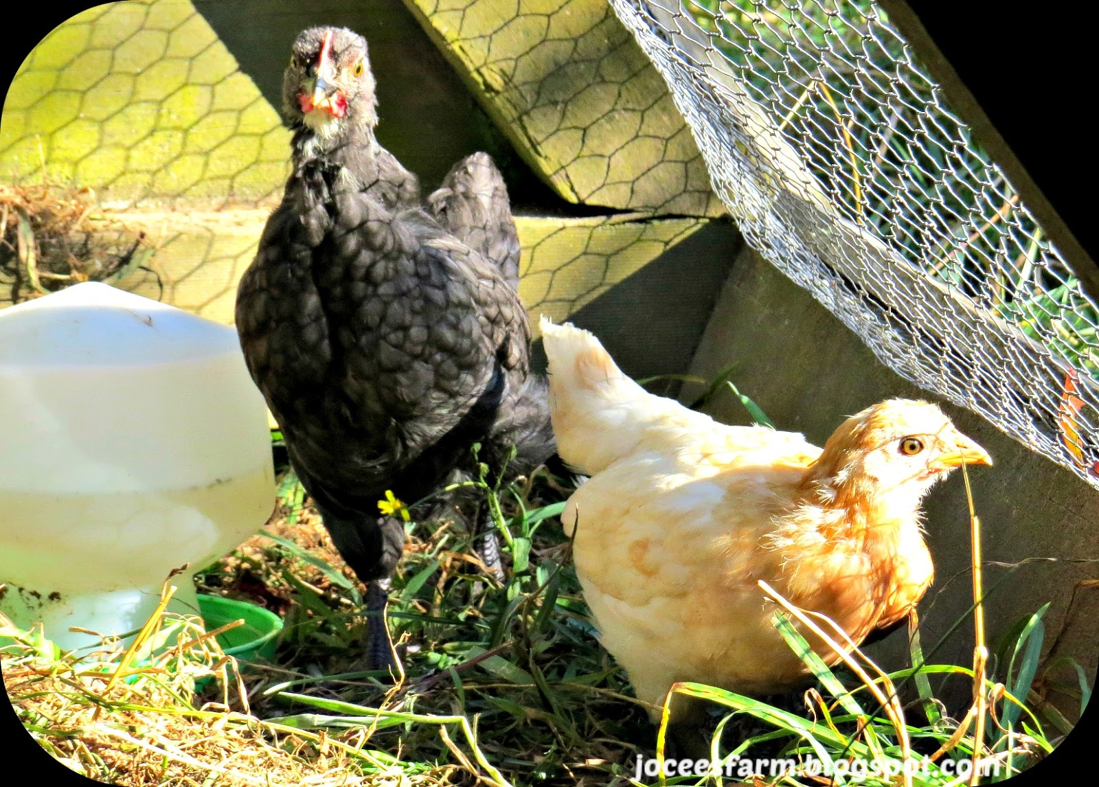 Chicks  @  joceesfarm.blogspot.com