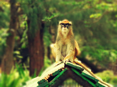 Patas Monkey-The soldier look