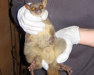 Giant Mouse Lemur Boasts Largest Testicles Of All Primates