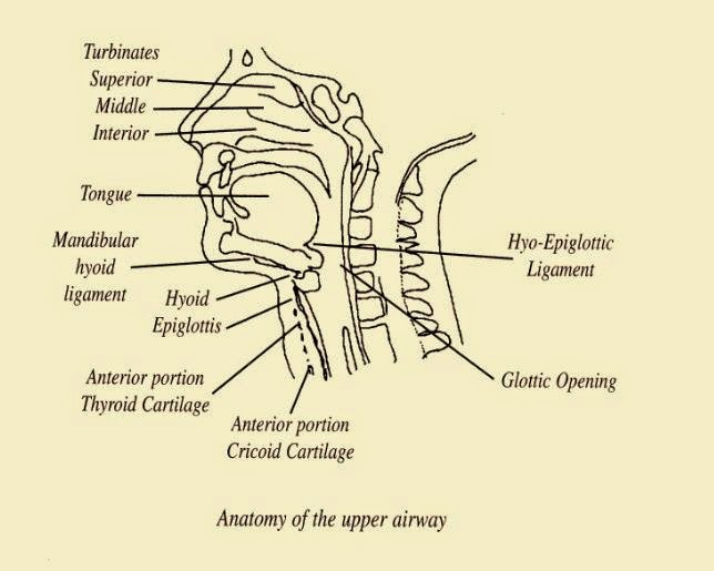 Anatomy of the upper airway | Science4Students
