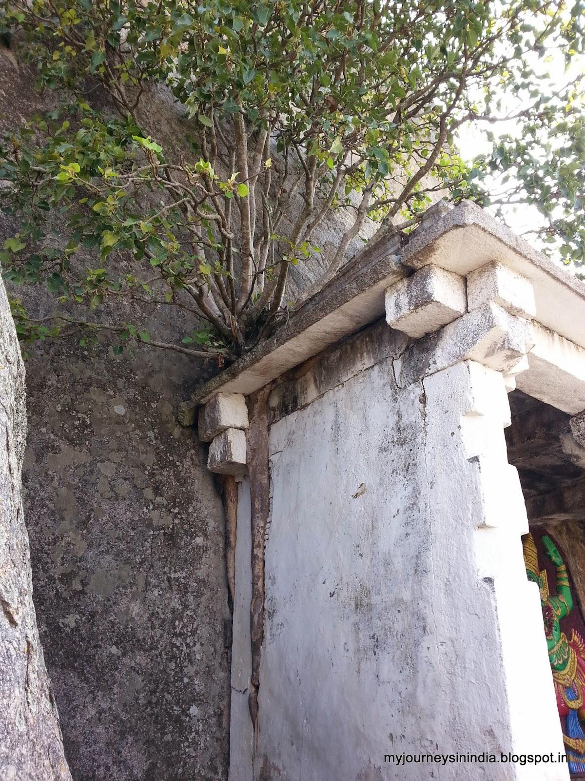Trees growing on rocks - Devarayanadurga