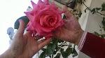 Os mostramos una de las rosas