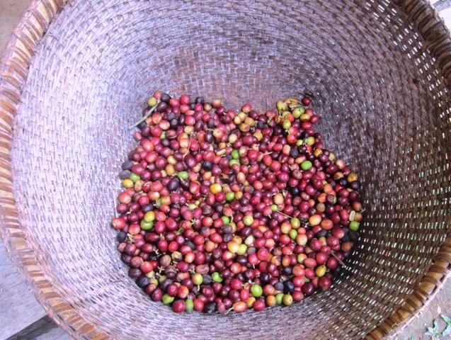 Biji kopi luwak Bali.jpg