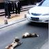 Anjing Sedih Pasangannya Mati Dilanggar..