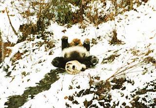 Гигантская Панда. Скользящая панда