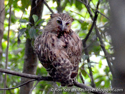 Buffy Fish Owl (Bubo ketupu, previously named Ketupa ketupu)