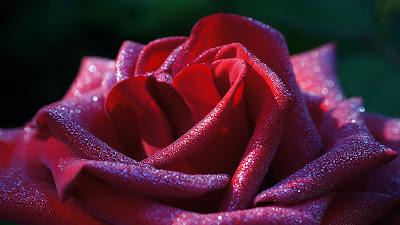 Baixe grátis papel de parede de uma linda rosa vermelha em hd 1080p. Download beautiful red rose flower Desktop wallpaper, background images, pictures in HD and Widescreen high quality resolutions for free.