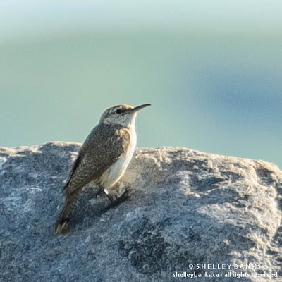 Rock Wren. Photo copyright © Shelley Banks, All Rights Reserved.