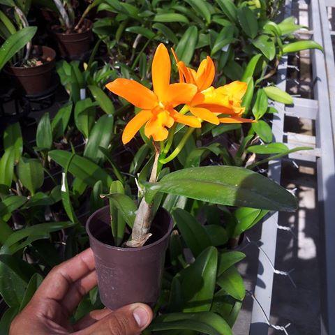 obligación de todos los amantes de las orquídeas trabajar para desmitificarlas. Existe una orquídea para cada casa, para muchos y diferentes rincones.