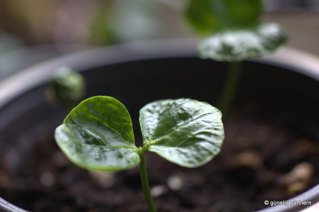 Grune Bohnen Farbe : Günstig gärtnern Grüne Bohnen