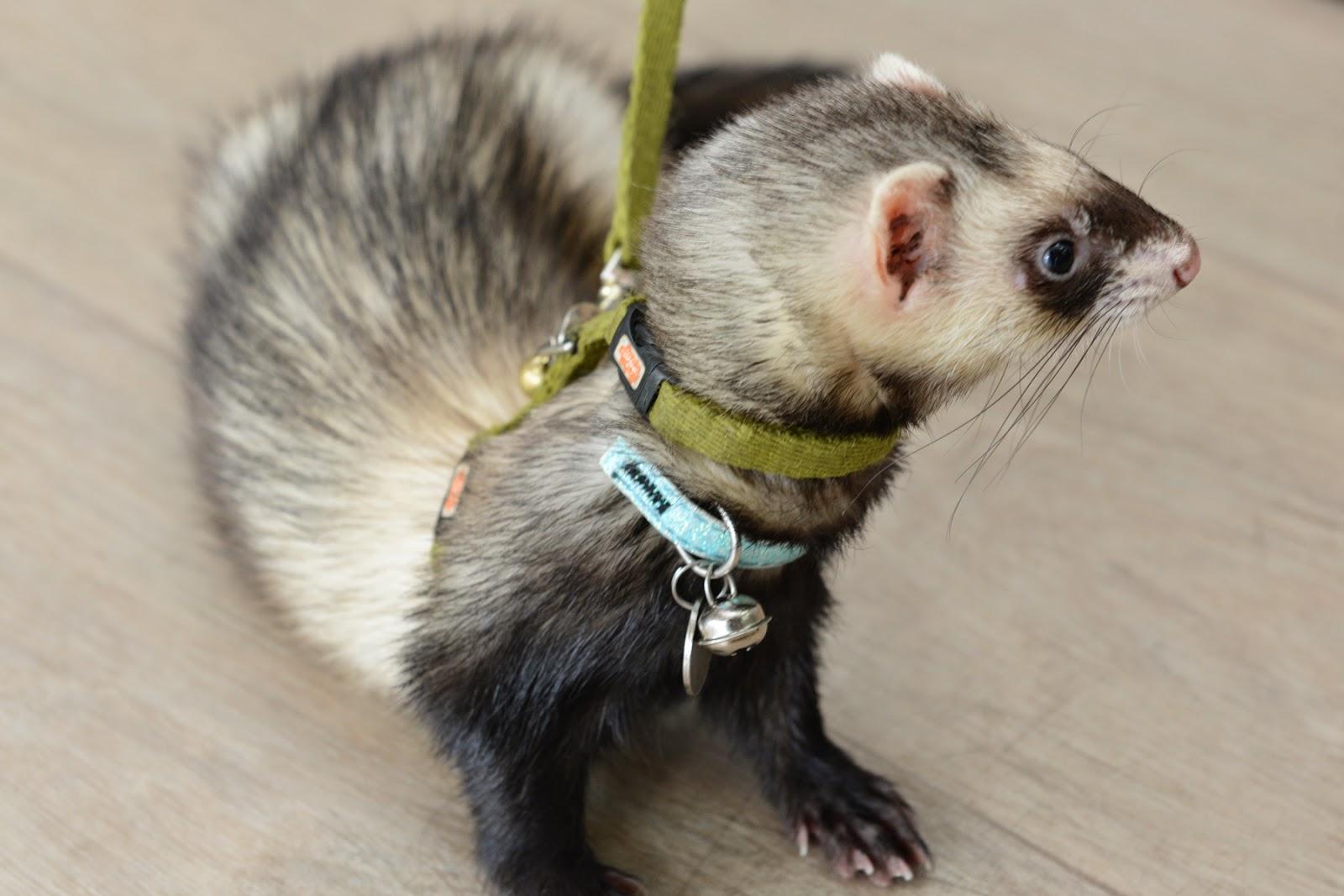 ferret walks on lead