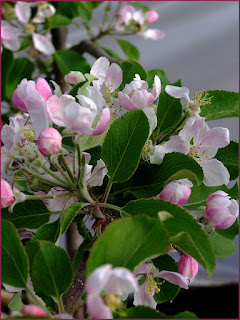 Apple blossom, blossom, golden delicious