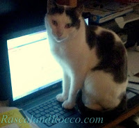 cat on laptop computer