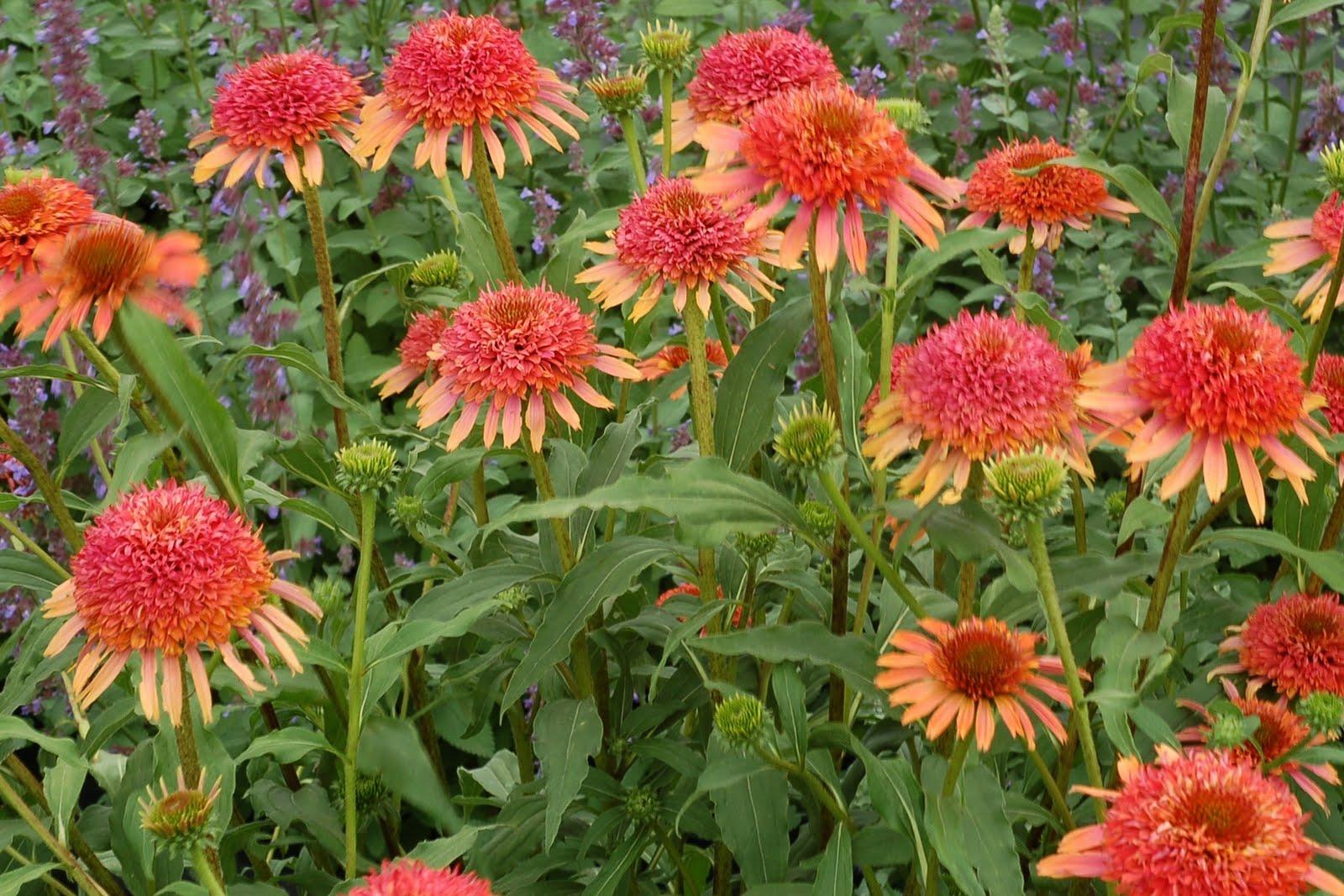 Coneflower Echinacea Secret Desire