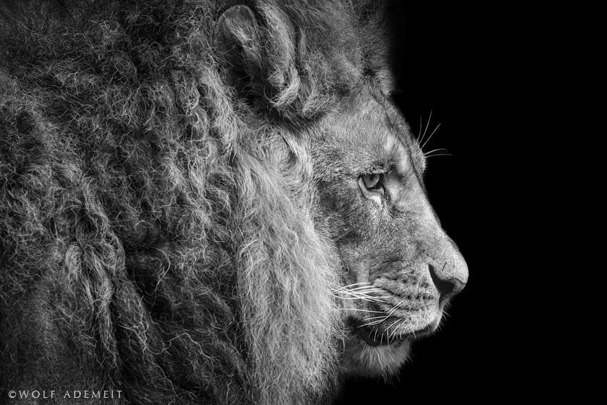 Magníficas FOTOGRAFÍAS en blanco y negro de animales por Lobo ...