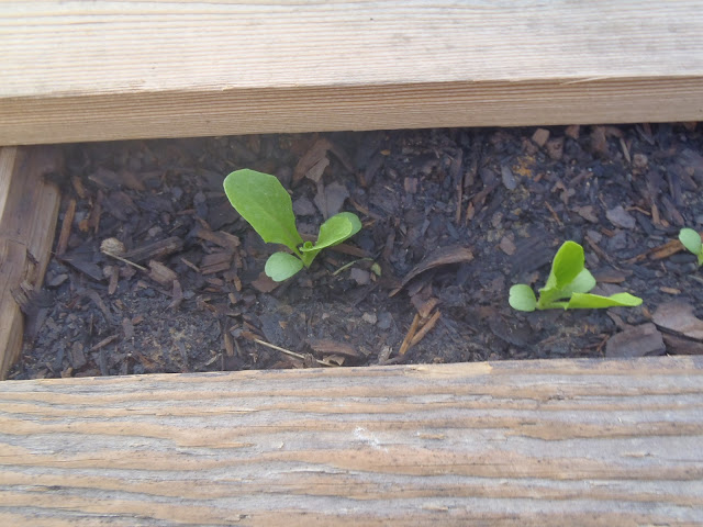 Pallet Garden Romaine lettuce