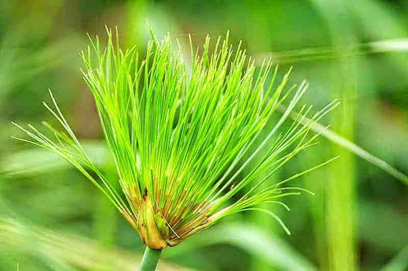 reeds,plant, papyrus
