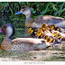 Marreca-pé-vermelho *** amazonetta brasiliense (gmelin,1789)  ( picassinha, marreca-ananai...)