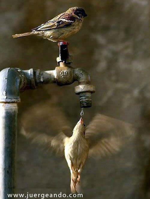 Pajaritos tomando agua