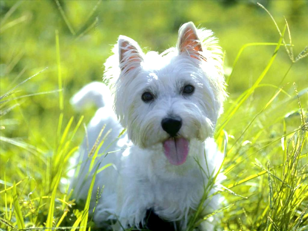 West Highland Terrier Photos | Dog Lovers Pictures