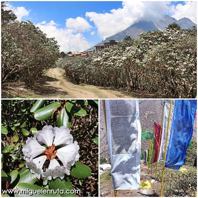 Tengboche-rododendros-banderas-de-oración