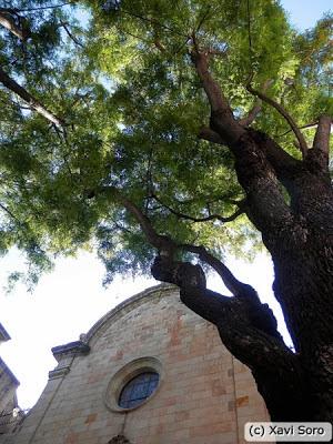 Acacia de flor amarilla (Tipuana Tipu) en la plaça de Sant Felip Neri de Barcelona