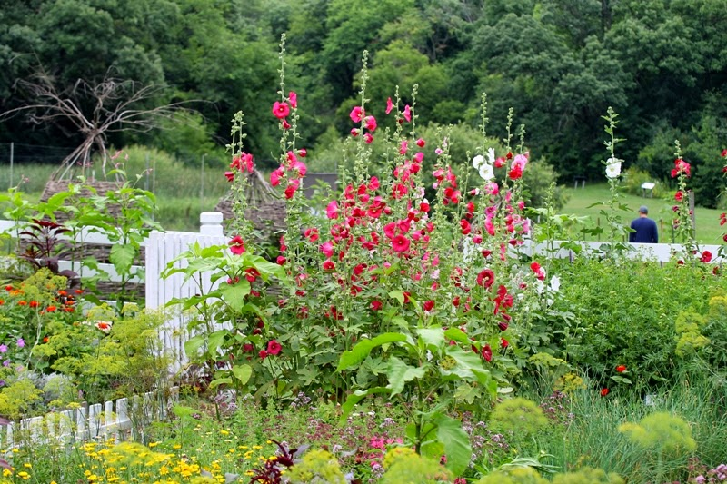 Hollyhocks at Seed Savers Exchange, Decorah, Iowa