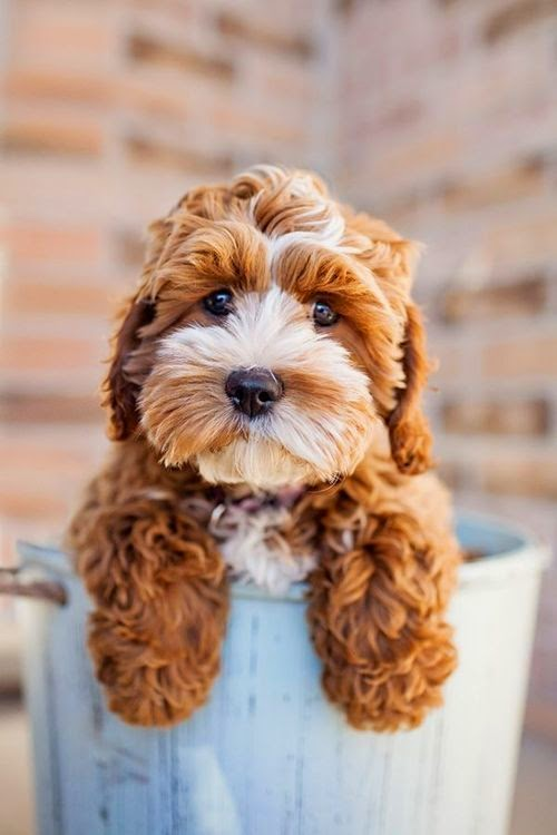 Top 3 Beautiful Cute Cavapoo Puppies