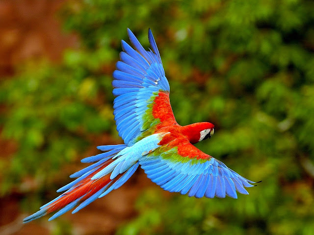 14621-Parrot Flying Animal HD Wallpaperz