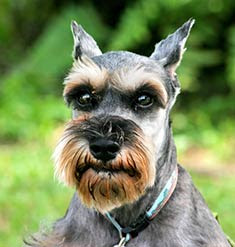 miniature schnauzer pets dog hound haustiere husdjur domaci animals domestics maskotak puppy puppies breeds